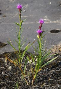 Cylindrical Blazing Star